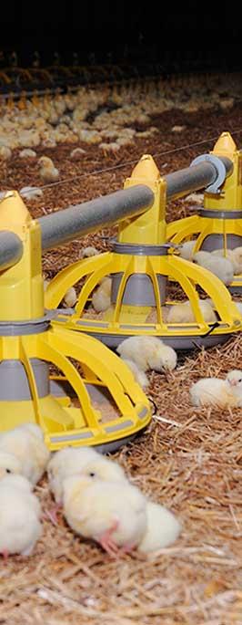 Intérêt nutritionnel de la menue paille pour les aviculteurs